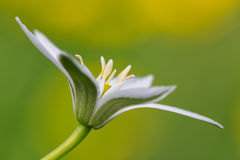 Fiore del Ornithogalum Fotografia Stock