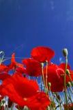 Fiore del papavero Immagini Stock
