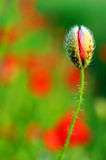 Fiore del papavero Immagine Stock