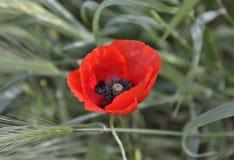 Fiore del papavero Fotografia Stock Libera da Diritti