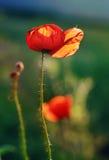 Fiore del papavero Fotografie Stock Libere da Diritti