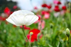 Fiore del papavero coltivato nel giardino Fotografia Stock Libera da Diritti