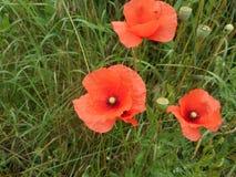 Fiore del papavero con il fiore rosso immagine stock libera da diritti