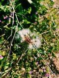 Fiore del papavero con le piante nei precedenti immagine stock libera da diritti