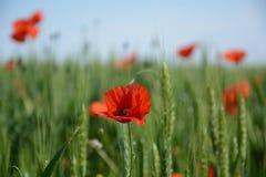 Fiore del papavero contro il campo vago immagini stock libere da diritti