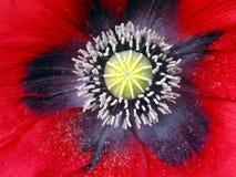 Fiore del papavero del primo piano Fotografia Stock Libera da Diritti