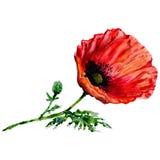 Fiore del papavero del Wildflower in uno stile dell'acquerello isolato Fotografie Stock Libere da Diritti