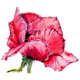 Fiore del papavero del Wildflower in uno stile dell'acquerello isolato Immagini Stock