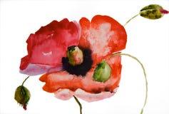 Fiore del papavero dell'acquerello Immagini Stock