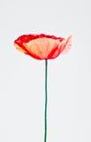Fiore del papavero isolato fotografie stock