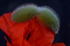 Fiore del papavero nel corso della fioritura immagine stock libera da diritti