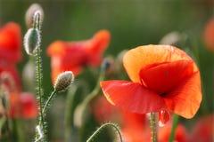 Fiore del papavero sul sole fotografie stock libere da diritti