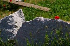Fiore del papavero sulla roccia del granito fotografie stock libere da diritti