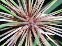 Fiore del papiro Fotografie Stock Libere da Diritti