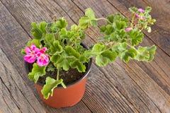 Fiore del pelargonium del geranio in vaso su fondo di legno Fotografia Stock Libera da Diritti