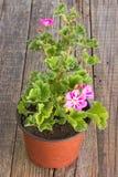Fiore del pelargonium del geranio in vaso su fondo di legno Fotografia Stock