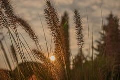 Fiore del Pennisetum nel tramonto Immagine Stock Libera da Diritti