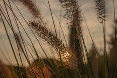 Fiore del Pennisetum nel tramonto Immagine Stock
