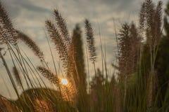 Fiore del Pennisetum nel tramonto Fotografie Stock Libere da Diritti