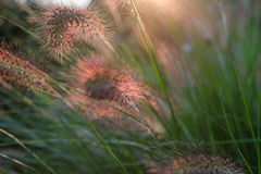 Fiore del Pennisetum nel tramonto Fotografia Stock Libera da Diritti