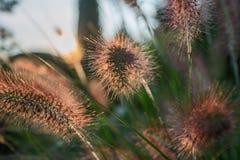 Fiore del Pennisetum nel tramonto Immagini Stock