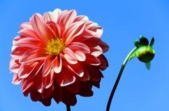 Fiore del Peony fotografie stock libere da diritti