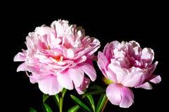 Fiore del Peony fotografia stock libera da diritti