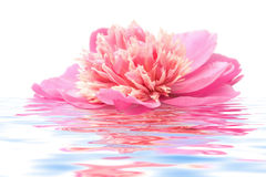 Fiore del Peony che galleggia in acqua isolata Immagini Stock Libere da Diritti