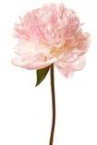 Fiore del Peony isolato su una priorità bassa bianca fotografie stock