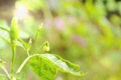 Fiore del peperoncino rosso che fiorisce nel giardino del cortile Immagini Stock Libere da Diritti