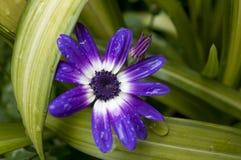 Fiore del Pericallis di Senetti con le goccioline di rainwat Fotografie Stock Libere da Diritti