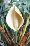 Fiore del Philodendron Fotografia Stock Libera da Diritti