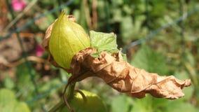 Fiore del Physalis Immagine Stock