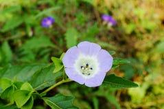 Fiore del Physalis Fotografie Stock