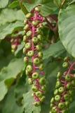 Fiore del Phytolacca sulla pianta Immagini Stock