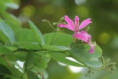 Fiore del piede del cammello porpora fotografia stock libera da diritti