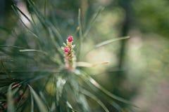 Fiore del pino in primavera nel primo piano di luce solare, Immagine Stock