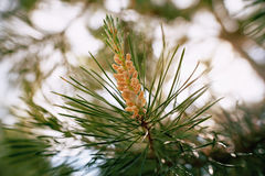 Fiore del pino in primavera nel primo piano di luce solare, Immagini Stock Libere da Diritti