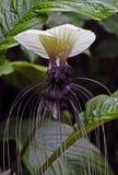 Fiore del pipistrello Immagini Stock Libere da Diritti