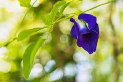 Fiore del pisello del fiore del pisello di farfalla Immagine Stock