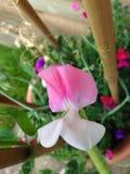 Fiore del pisello dolce Immagini Stock Libere da Diritti