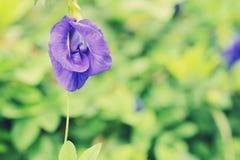 Fiore del pisello dolce Immagini Stock