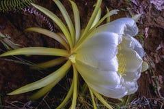 Fiore del pitaya - cactus della frutta del drago dal lato fotografia stock