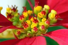 Fiore del Poinsettia Fotografie Stock Libere da Diritti