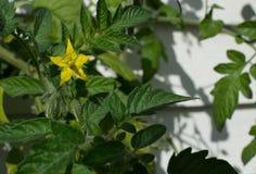 Fiore del pomodoro Fotografia Stock