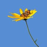 Fiore del popato e della farfalla del Canada Fotografie Stock Libere da Diritti