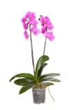 Fiore del POT dell'orchidea Fotografia Stock Libera da Diritti