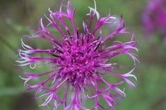 Fiore del prato fotografie stock