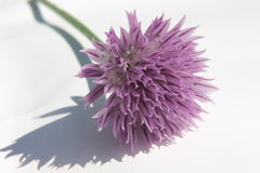 Fiore del prezzemolo in Sommer Fotografia Stock Libera da Diritti