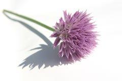 Fiore del prezzemolo in Sommer Immagine Stock